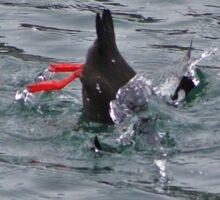 Black guillemot diving for lunch. Sticker