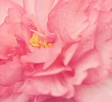 Pink Begonia by catherine-rose