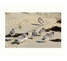 Double-banded plover, Hooded Plover Art Print