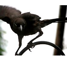 Don't Mess With The Grackle Photographic Print