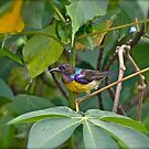BROWN THROATED SUNBIRD by NICK COBURN PHILLIPS