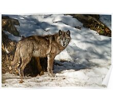 Black Wolf In Snow Poster