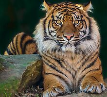 Eye of the Tiger by tuliptimeimages