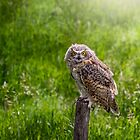 Baby Great Horned Owl by Patrick Kavanagh