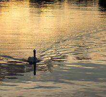 Golden Watercolor Ripples - the Gliding Swan by Georgia Mizuleva