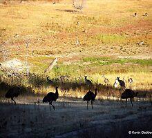 Australian emus and kangaroos at sunrise by NSWCamper