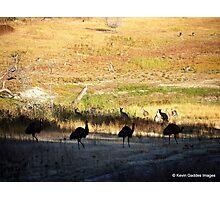Australian emus and kangaroos at sunrise Photographic Print