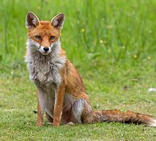 Fox by Alan Forder