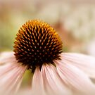 Echinacea by Jessica Jenney