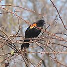 Red-winged Black Bird by caybeach