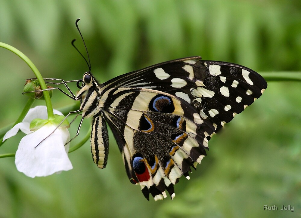 Drinks with A swallowtail by ruth  jolly