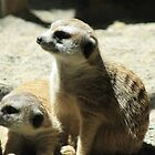 Meerkat Madness by ACImaging