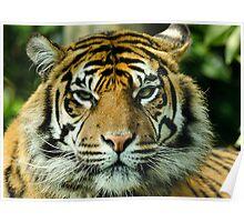 Amur Tiger Eyes Poster
