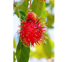 Close-up shot of a Rambutan tropical fruit in the tree Photographic Print