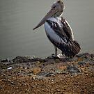 Pelican (2) by Wolf Sverak