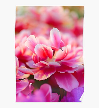 Fresh pink white red tulips Poster