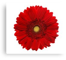 Red gerbera head, closeup shot, isolated on a white background Canvas Print