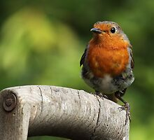 Robin on an old wooden garden fork handle. by Mick Gosling
