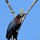 Green Heron by TJ Baccari Photography