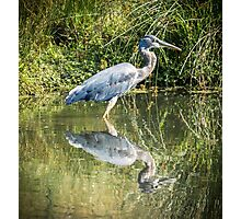 Great Blue Heron Photographic Print