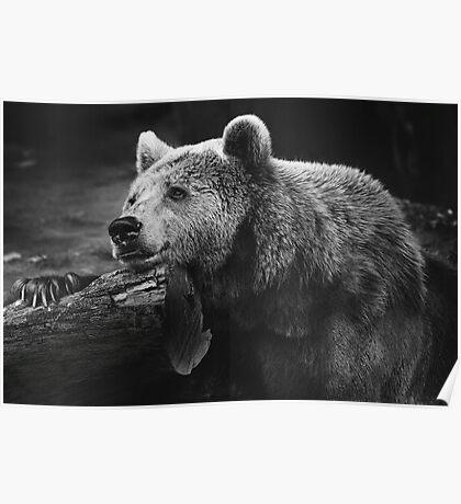 bear, black and white Poster