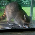 Little Coon, the Occasional Visitor by Vivian Eagleson