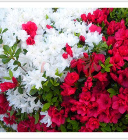 Beautiful flowering azaleas.  Sticker