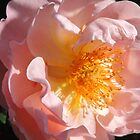 Dainty Salmon-Pink Rose by Marilyn Harris