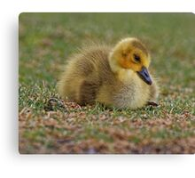 Sleepy Gosling Canvas Print