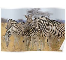 Zebra - African Wildlife Background - Love to Feel Poster
