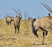 Oryx - African Wildlife - Gemsbok Line of Horns by LivingWild