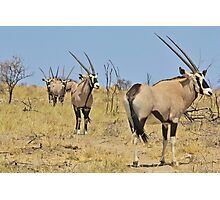 Oryx - African Wildlife - Gemsbok Line of Horns Photographic Print