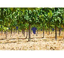 Red grapes at Saint Tropez vineyard, France Photographic Print