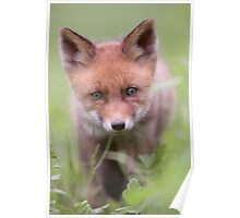 Portrait of Red Fox kit Poster
