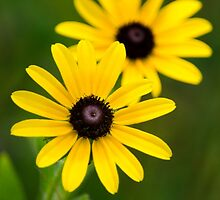 Black Eyed Susans by Christina Rollo