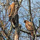 Pair of Hawks by Rick  Friedle