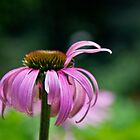 Bye-bye coneflower by KSKphotography