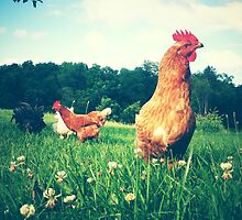 The Secret Life of Chickens by Olivia Joy StClaire