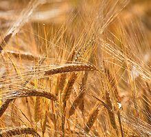 Golden Barley by Violaman