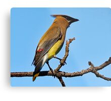 Cedar Waxwing on a Limb Metal Print