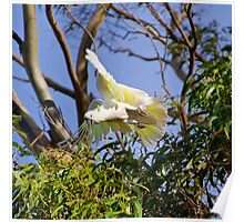PARROT ~ Sulphur-crested Cockatoo by David Irwin Poster