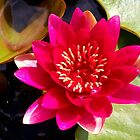 Red Water Lily  by hootonles