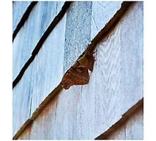 Beautiful Brown Moth Photographic Print