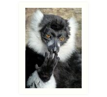 Thinking Black And White Ruffed Lemur Art Print