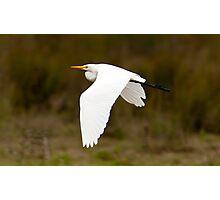 Cattle Egret in Flight Photographic Print