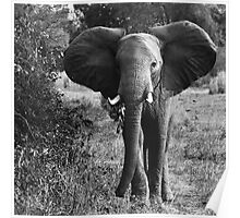 Animalia I - African Savannah Elephant Poster