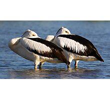 Australian Pelicans Photographic Print