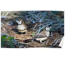 Doublebar Finches Poster