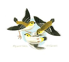 Forty-spotted Pardalote Photographic Print