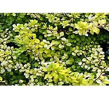 Natural background with small yellow green leaves. Photographic Print